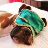 спать носа s макроса изображения фокуса собаки dof красотки отмелый Стоковое Изображение