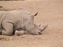 спать носорога Стоковая Фотография