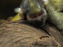 Спать обезьяны стоковые фотографии rf