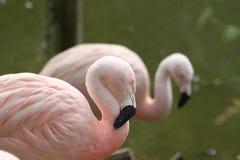 спать пинка фламингоа Стоковые Изображения