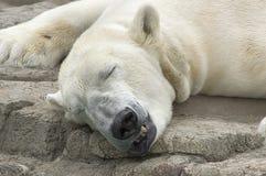 Спать полярного медведя Стоковые Фото
