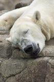 Спать полярного медведя Стоковое Изображение