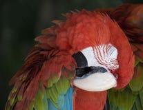 Спать попугая стоковое изображение