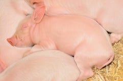 спать свиней Стоковое Фото