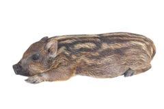 спать свиньи малый Стоковая Фотография RF