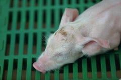 Спать свиньи младенца Стоковые Изображения