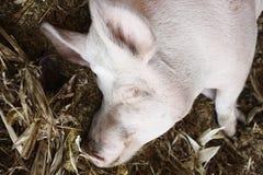 спать свиньи Стоковые Фото