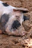 спать свиньи Стоковые Изображения