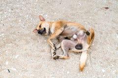 спать собаки пляжа стоковое фото