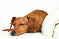 спать собаки dachshund Стоковая Фотография
