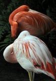спать фламингоов Стоковые Фотографии RF