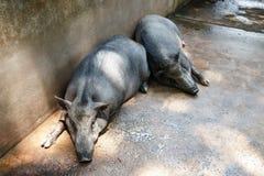 Спать 2 хряков Стоковая Фотография