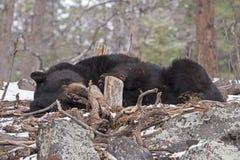 Спать черного медведя стоковая фотография rf