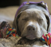 Спать щенка питбуля Стоковые Фото