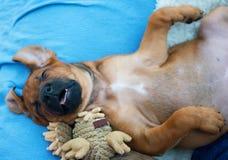 Спать щенка Rhodesian Ridgeback Стоковые Изображения