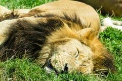 спать льва Стоковые Фотографии RF