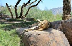 спать льва Стоковая Фотография