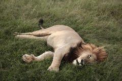 спать льва Стоковые Фото