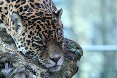 спать ягуара Стоковое Изображение