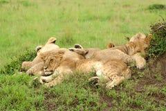 спать 3 льва травы новичков Стоковые Фото