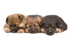 спать 3 puppys Стоковая Фотография RF