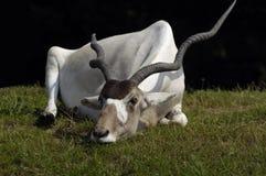 спать addax Стоковая Фотография RF