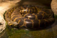 Спать anaconda Paraguayan стоковое изображение