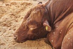 Спать Bull Стоковые Фотографии RF