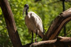 Спать ibis стоковые фотографии rf