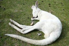 спать joey Стоковая Фотография