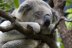 спать koala Стоковое Изображение