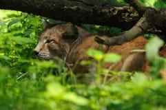 спать lynx Стоковое фото RF