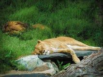 спать masai mara львов Африки Кении Стоковые Изображения