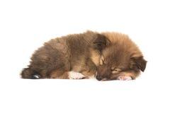 Спать Sheltie увиденное от стороны Стоковое Фото