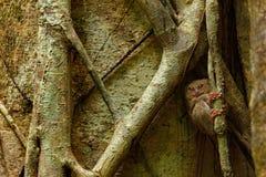 Спектральное Tarsier, спектр Tarsius, портрет редкого ночного животного, в среду обитания природы, большое дерево фикуса, соотече Стоковое Фото