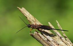 Спектр Xeris садясь на насест на ветви в полесье Вид horntail или оса древесины, то живет в coniferous лесах в Стоковое Изображение