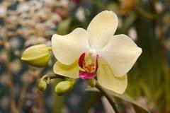 Спелая желтая орхидея Стоковые Фото