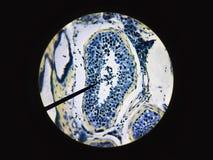 Сперма произвела в мужской физиологии анатомии семенника семенников Стоковое Изображение