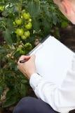 Специалист Tomatoe в парнике Стоковые Изображения