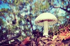 Спиковой белый гриб мухомора Стоковое Фото