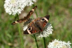 Спина к спине бабочки Стоковые Фото