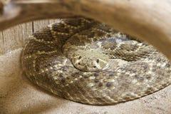 Спиральный Rattlesnake Стоковая Фотография RF