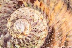 Спираль раковины Стоковые Изображения RF