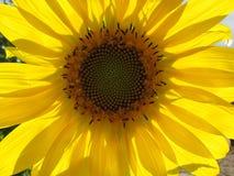 Спираль солнцецвета стоковые фото