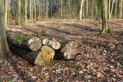 Спиленная древесина ствола дерева Стоковое фото RF