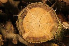 Спиленный ствол дерева Стоковое Фото