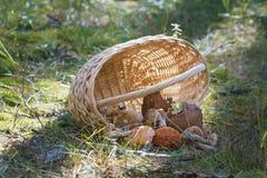 Сплетенный подосиновик корзины и гриба в лесе Стоковое Фото