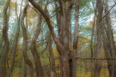 Сплетя стволы дерева формируют нечетный дизайн природы стоковое фото