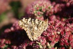 Спокойная бабочка Стоковая Фотография