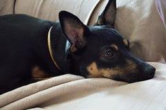 Спокойная ухищренная собака лежа на удобной софе Стоковое фото RF